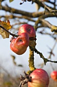 Ripe apples on apple tree