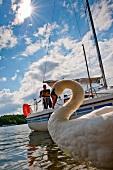 Close-up of swan in Masurian Lake District, Poland