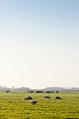 View of cattle grazing on pastures between Holysloot and Ransdorp, Noord, Amsterdam