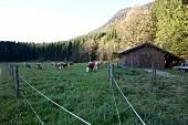 Chiemgau, Bayern, Chiemgauer Alpen, Sachrang, Spitzstein, Rinder