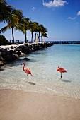 Aruba, Karibik, Flamingo, Wasser, Meer, steht, Landschaft
