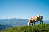 Cattle grazing on Chiemgau Alps mountain in Bavaria, Germany