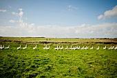 Geese on meadow in Gansehof, Keitum, Sylt, Germany
