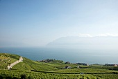 Elevated view of vineyards and Vaud Alps, Canton of Alps, Switzerland
