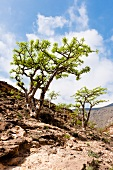 View of Incense tree on hill in desert, Oman