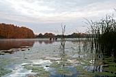 View of lake with reeds at morning, Bradenburg, Germany