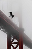 View of Seagull flying in front of Golden Gate Bridge covered with fog, San Francisco, USA