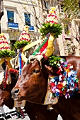 Two oxen for Procession of Holy Ephysius at Cagliari, Sardinia, Italy