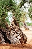 Landschaft, Detail, Stamm, knorrig, Olivenbaum, Olivenhain, Italien