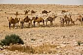 Herd of Dromedaries on rocky landscape at Negev, Israel