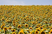View of sunflower field with blue sky, Galilee, Israel