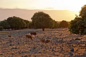 Israel, Golan, Golanhöhen, Kühe, Abendlicht