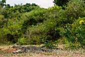 Marsh crocodile in Yala National Park, Sri Lanka