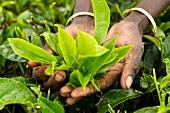 Close-up of tea leaves in hand at tea plantation, Nuwara Eliya, Sri Lanka