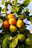 Greenhouse tomatoes in Witzenhausen Freudenthal at Hessen-Kassel