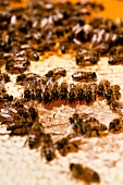 Close-up of bees on honeycomb, Kassel, Hesse, Germany