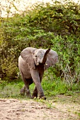 Elephant at Phinda Resource Reserve, South Africa