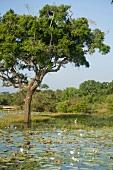 Sri Lanka, Yala-Nationalpark, Lagune Bäume, Seereosen, malerisch