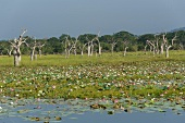 Sri Lanka, Yala-Nationalpark, Lagune kahle Bäume, Seereosen, malerisch