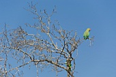 Low angle view of green Parrot sitting on bare tree at Yala National Park, Sri Lanka