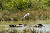 Buffaloes in water and bird flying above at Yala National Park in Sri Lanka