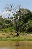 Buffalo in water and bare tree at Yala National Park in Sri Lanka