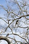 Hornbill on bare tree at Yala National Park, Sri Lanka