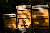 Bees on wooden box in shade garden, Frohnau, Berlin