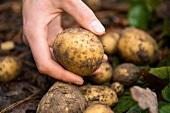 Close-up of garden potato in Frohnau, Berlin