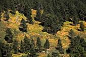 Pine trees in Dilek Peninsula National Park, Kusadasi, Turkey