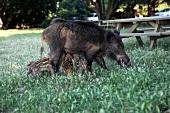 Two wild boar in Dilek Peninsula National Park, Turkey