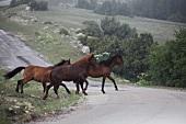 Wild horses in Spil Dagi National Park, Turkey