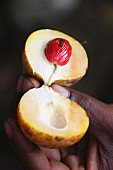 An opened nutmeg fruit (Zanzibar, East Africa)