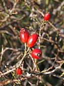 Close-up of rose hips on branches in Lower Saxony, Germany