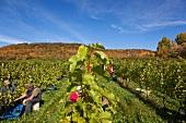 Kanada, Nova Scotia, Weinberge der Blomidon Winery, Weinlese