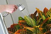 Zimmerpflanzen, Pflanze abduschen, Schädlingsbekämpfung