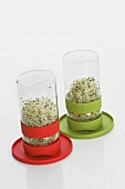 Beansprouts in two germinating jars