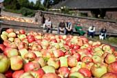 Frisch geerntete Äpfel in Holzkisten