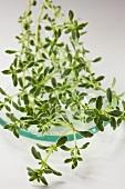 Fresh Silver Queen thyme