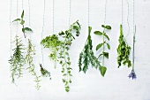 Various fresh kitchen herbs (hanging)