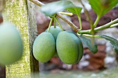 Unreife Aprikosen (Prunus Armeniaca) am Baum