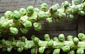 Maine Grown Brussels Sprouts on the Stalks