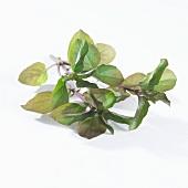 Ein Minzezweig (Mentha X Piperiata Var. Citrata)