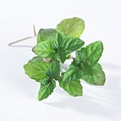 Fresh mint (Mentha X Piperita)