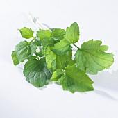 Fresh valeriana leaves (valeriana offincinalis)