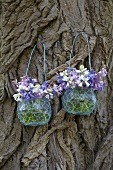 Spanish bluebells (hyacinthoides hispanica) in glass vases on a tree