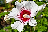A red and white hibiscus flower