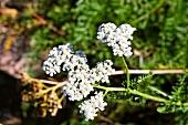 Flowering yarrow (Achillea Millefolium)