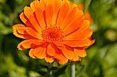A marigold (Calendula Officinalis)