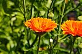 Ringelblumen im Freien (Calendula Officinalis)